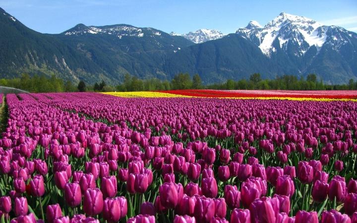 6940479-beautiful-tulips-field